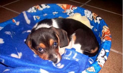 beagle-Boogie-Barcelona-cuna