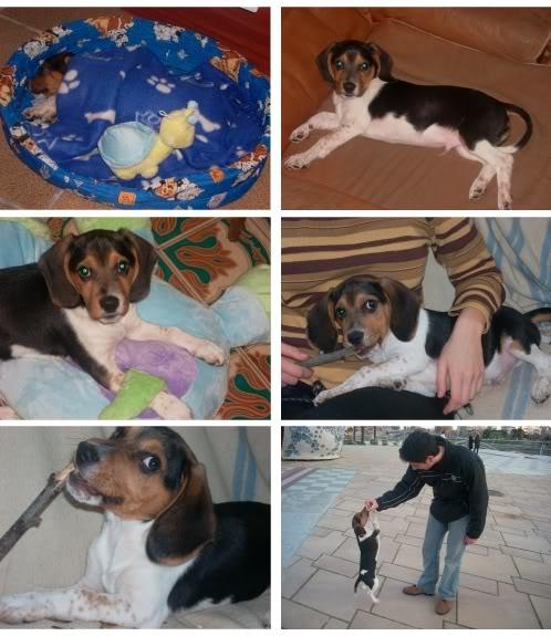 beagle-Boogie-Barcelona