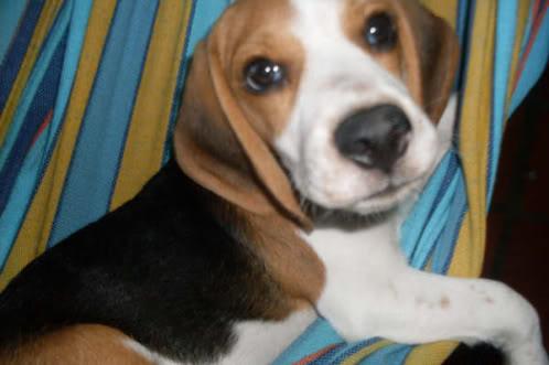 beagle-Chiquito-Venezuela