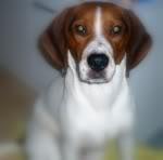 beagle-Cholito-Tenerife