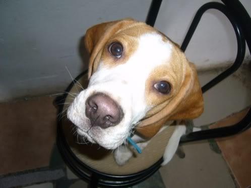 beagle-Lorenzo-Fuentes