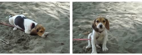beagle-Manolo-Costa_Rica