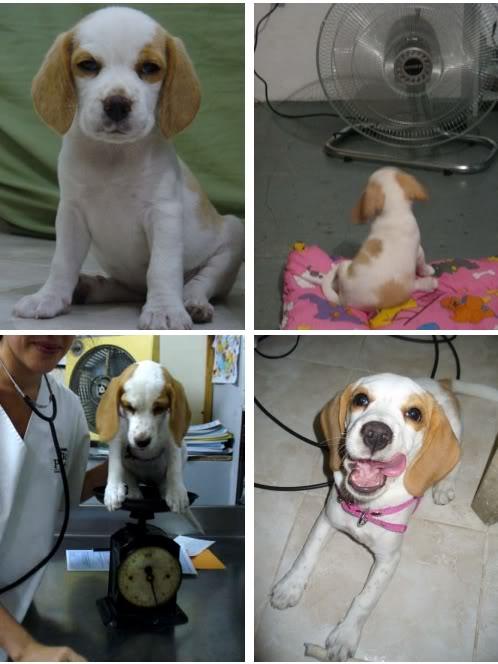 beagle-Nim-Colombia