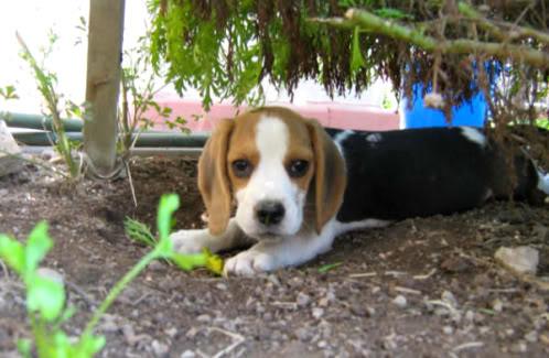 beagle-Tequila-Peru