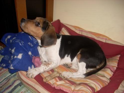 beagle-boogie-en el canasto