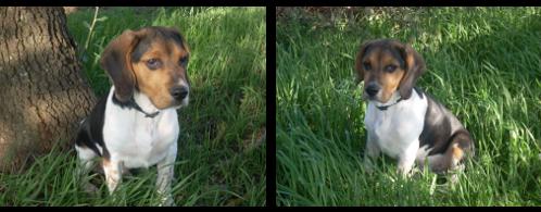beagle boogie en la hierba
