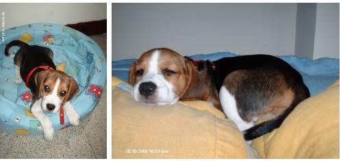 cachorro de beagle en su cuna