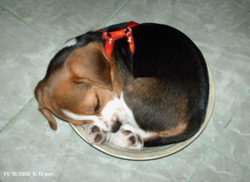 cachorro beagle dormido