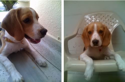 beagle-candy-colombia