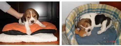 beagle-felipe-argentina
