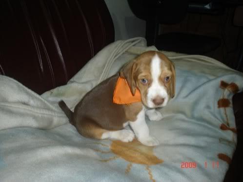 beagle-junior-colombia