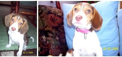 beagle-kiara-bogota