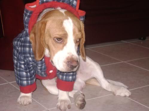 beagle bicolor llamado Martin