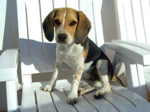 beagle-nana-elche