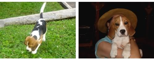 beagle-vilma-colombia