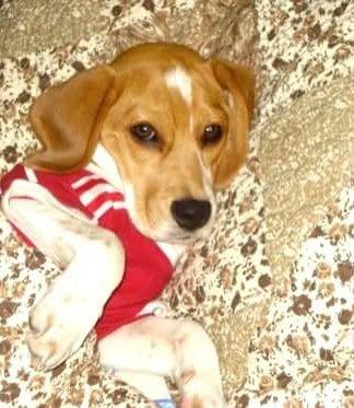 beagle-bonche-venezuela