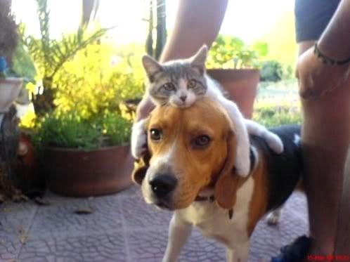 beagle-con-gatito