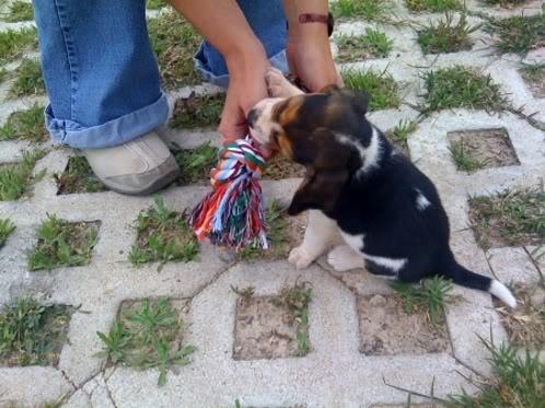 beagle-jaco-murcia-2
