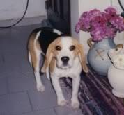 beagle-kiara-argentina