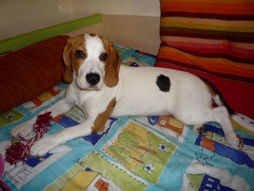 beagle-lizzy-2