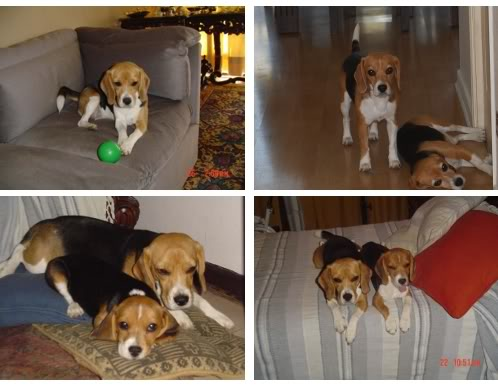 beagle-mati-chile