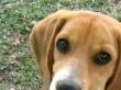 beagle-pakko-colombia