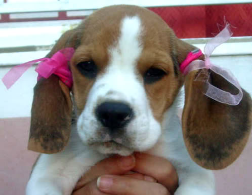 beagle-sol-con lazos en las orejas