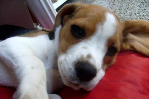 beagle-sol-argentina-4