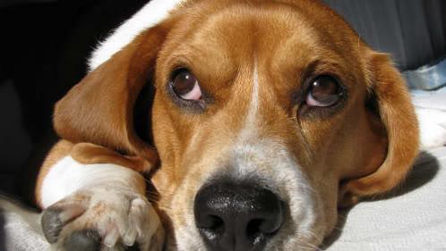 beagle-teo-donostia