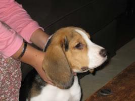 beagle-tricolor-byron-2