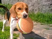 beagle con hamburguesa juguete