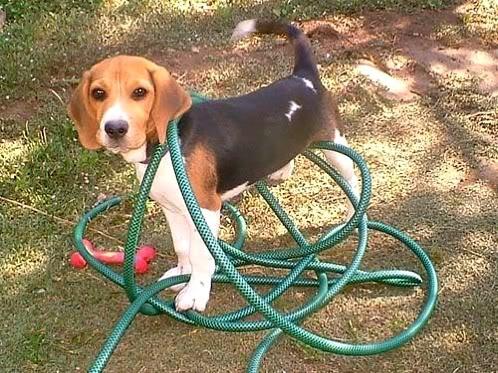 beagle enredado manguera