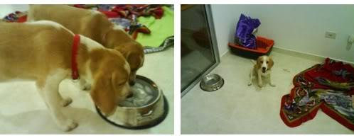 beagles-bicolor-figo-sheila