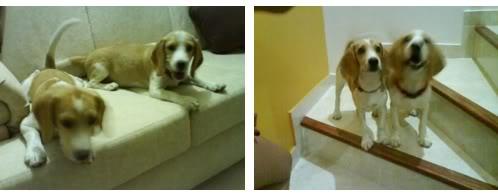 beagles-bicolor-figo-sheila-4