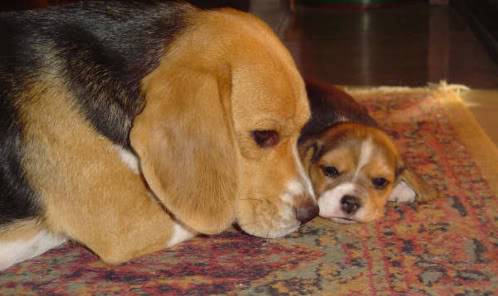 beagles-mati_flo-chile-2