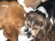 beagle vito y duna