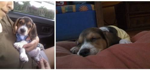 cachorro-beagle-dana-4