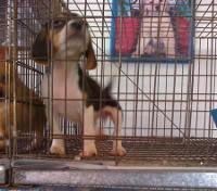 cachorro beagle en jaula tienda