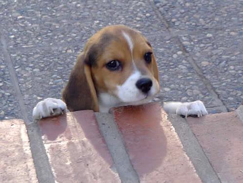 cachorro-beagle-flo