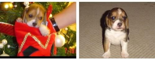 cachorro-beagle-flo-2