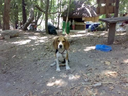 beagle-asoka-mexico