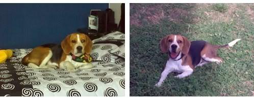 beagle-bob-ecuador-1