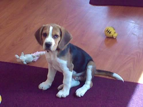 beagle-bob-ecuador-2