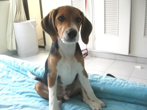 beagle-emilio-colombia-sentado en la cama