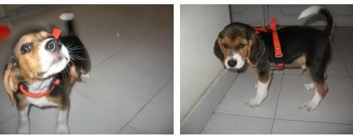 beagle-emilio-colombia-2