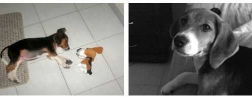 beagle-emilio-colombia-con peluche snoopy