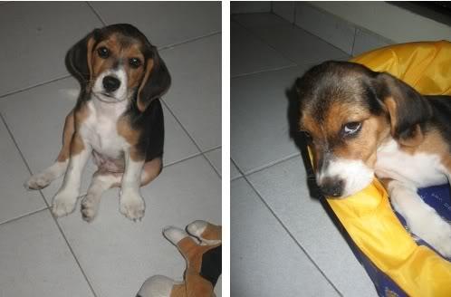beagle-emilio-colombia-6