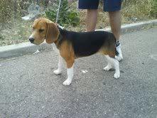 beagle-iris-adopcion
