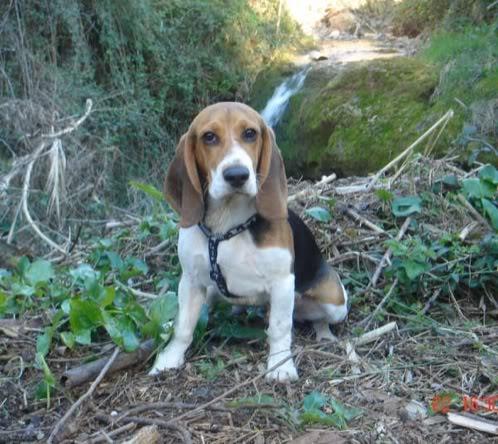 perro beagle en la naturaleza