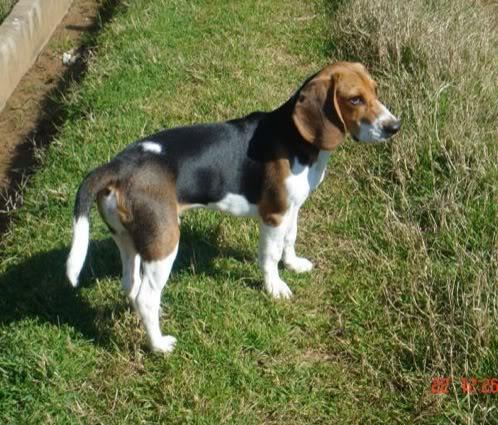 beagle-kiro-valencia